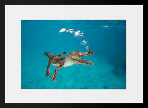 PHOTOBAY - young crocodile exhaling in the ocean - Photographie