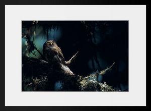 PHOTOBAY - chevêchette en clair obscur - Photographie