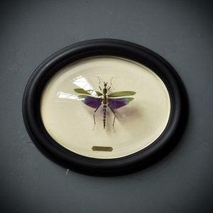 Objet de Curiosite - titanacris albipes éclaté - Insecte