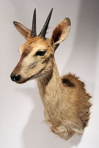 MASAI GALLERY - céphalophe de grimm - Taxidermy