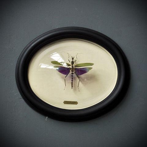Objet de Curiosite - Insekt-Objet de Curiosite-Titanacris Albipes éclaté