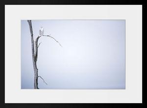 PHOTOBAY - harfang des neiges n° 4 - Fotografía