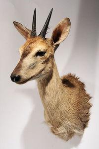 MASAI GALLERY - céphalophe de grimm - Animal Disecado