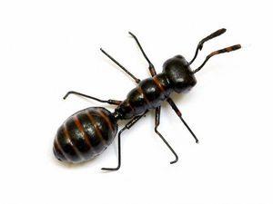 CODIL - fourmi noire gm - Imán